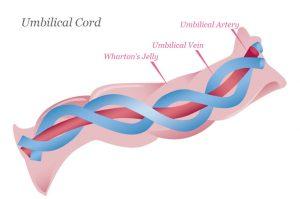 Compozitia cordonului ombilical